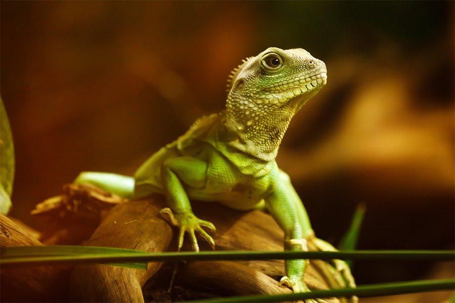 Lizard Medicine